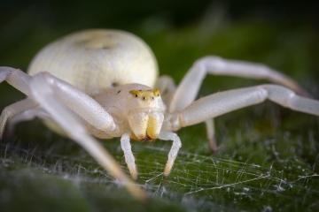 white-crab-spider-Misumena-vatia-5