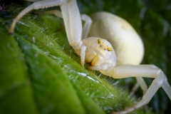 white-crab-spider-Misumena-vatia-7