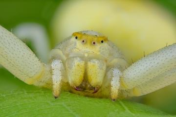 white-crab-spider-Misumena-vatia
