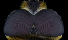 hoverfly [Myathropa florea] UK-2