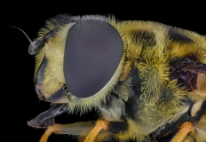 hoverfly [Myathropa florea] UK-3
