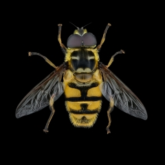 hoverfly [Myathropa florea] UK