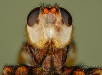 Beegrabber [Myopa vicaria]-2