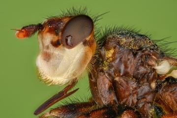Beegrabber [Myopa vicaria]