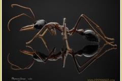 Myrmecia-forceps-worker-1-Roger-1861