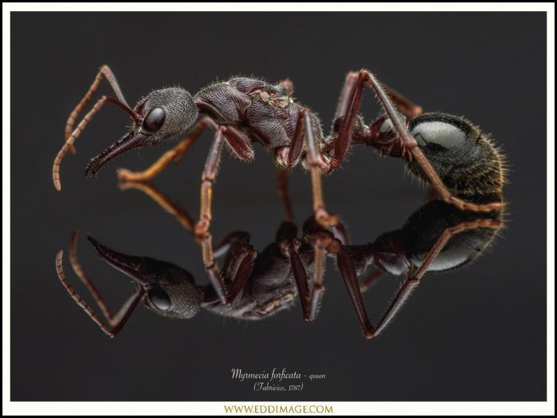 Myrmecia-forficata-queen-4-Fabricius-1787
