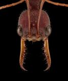 red bull ant [Myrmecia gulosa] - Australia-2 copy
