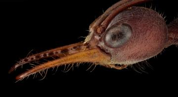 red bull ant [Myrmecia gulosa] - Australia-3 copy