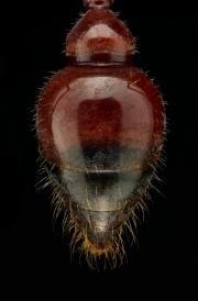 red bull ant [Myrmecia gulosa] - Australia-4 copy
