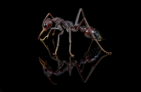 red bull ant [Myrmecia gulosa] - Australia-5