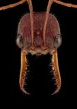 red bull ant [Myrmecia gulosa] - Australia copy
