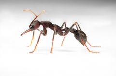bull ant [Myrmecia pyriformis] - Australia-2 copy