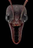 bull ant [Myrmecia pyriformis] - Australia-2