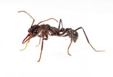 bull ant [Myrmecia pyriformis] - Australia-3