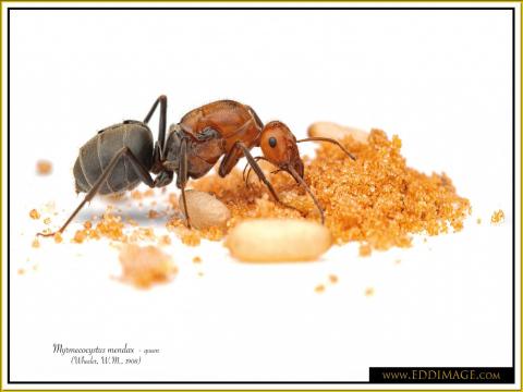 Myrmecocystus-mendax-queen-4-Wheeler-W.M.-1908