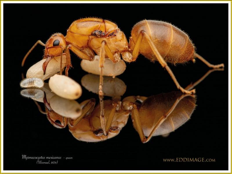 Myrmecocystus-mexicanus-queen-10Wesmael-1838