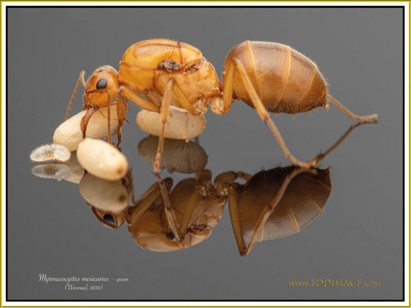 Myrmecocystus-mexicanus-queen-11Wesmael-1838