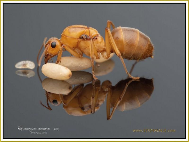 Myrmecocystus-mexicanus-queen-12Wesmael-1838