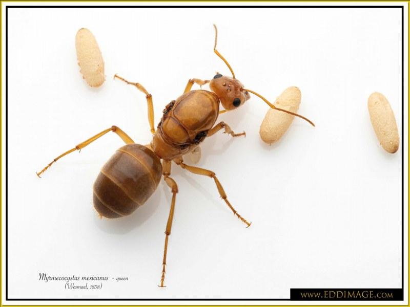 Myrmecocystus-mexicanus-queen-13Wesmael-1838