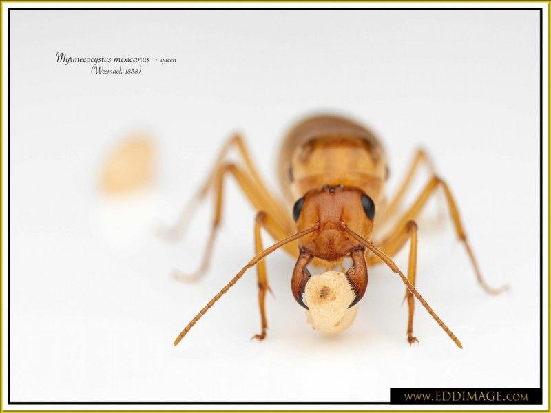 Myrmecocystus-mexicanus-queen-15Wesmael-1838