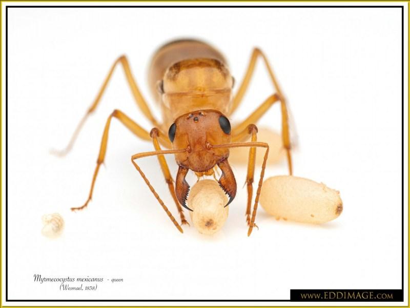 Myrmecocystus-mexicanus-queen-16Wesmael-1838