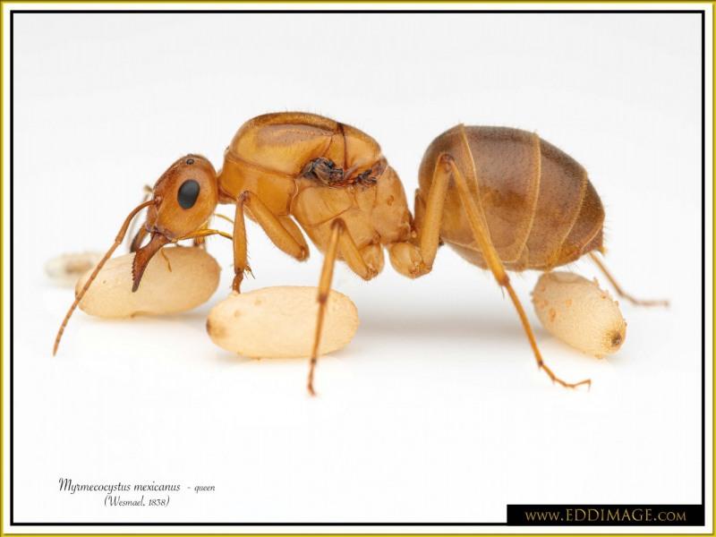 Myrmecocystus-mexicanus-queen-17Wesmael-1838