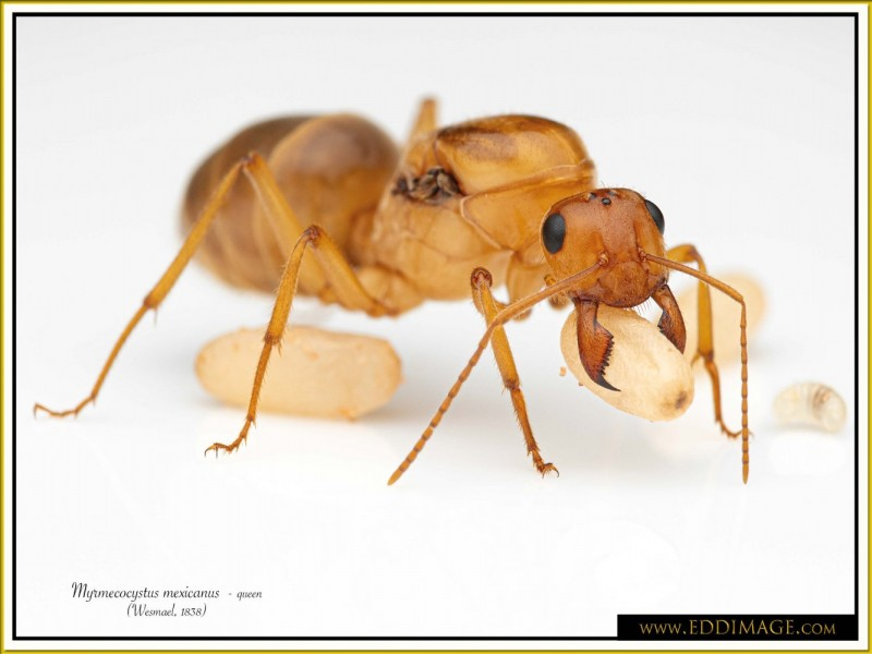 Myrmecocystus-mexicanus-queen-19Wesmael-1838