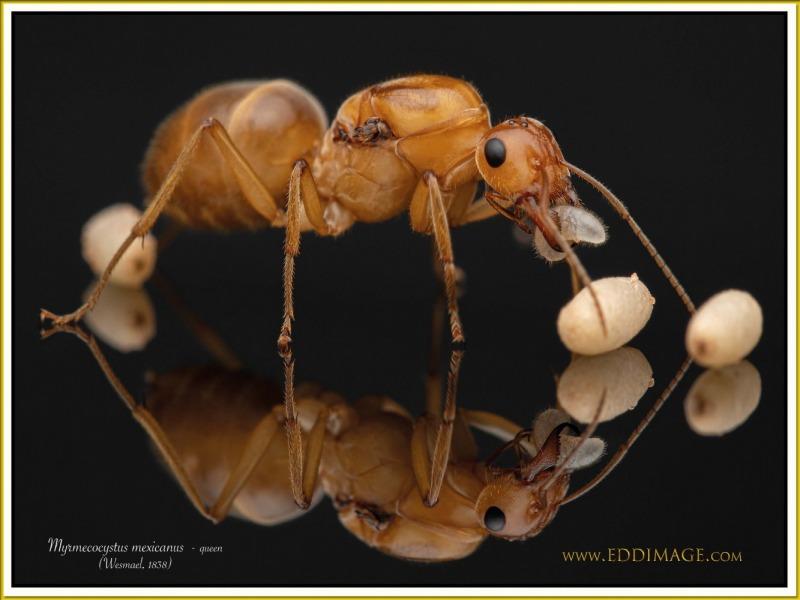 Myrmecocystus-mexicanus-queen-1Wesmael-1838
