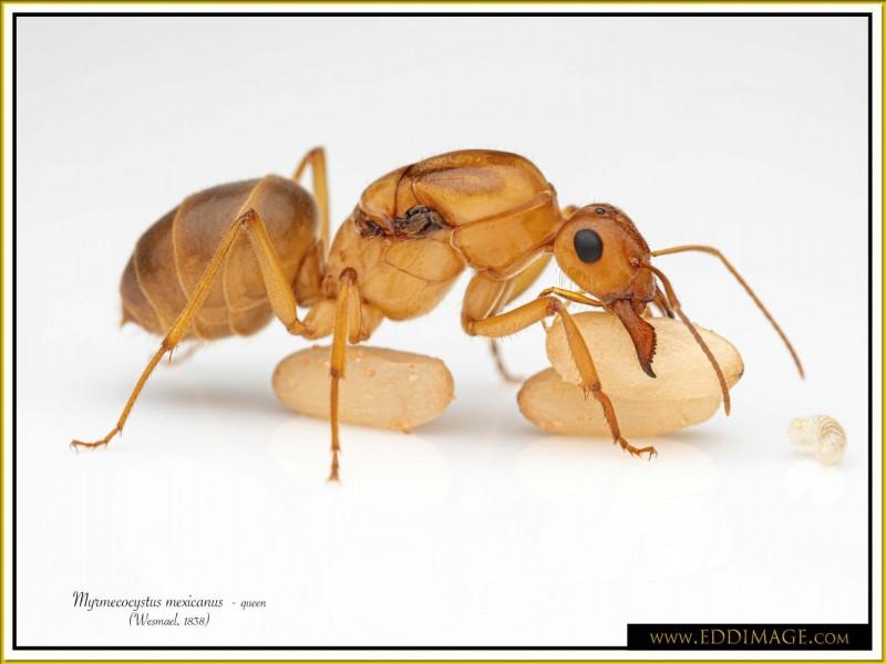 Myrmecocystus-mexicanus-queen-20Wesmael-1838