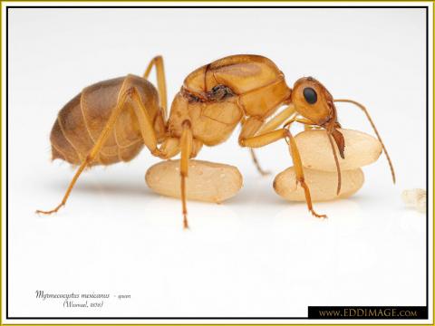 Myrmecocystus-mexicanus-queen-21Wesmael-1838