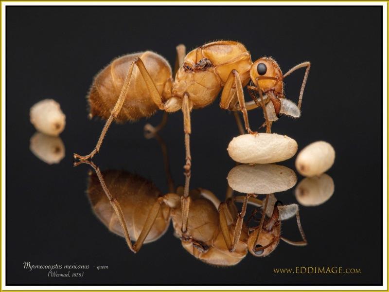 Myrmecocystus-mexicanus-queen-3Wesmael-1838