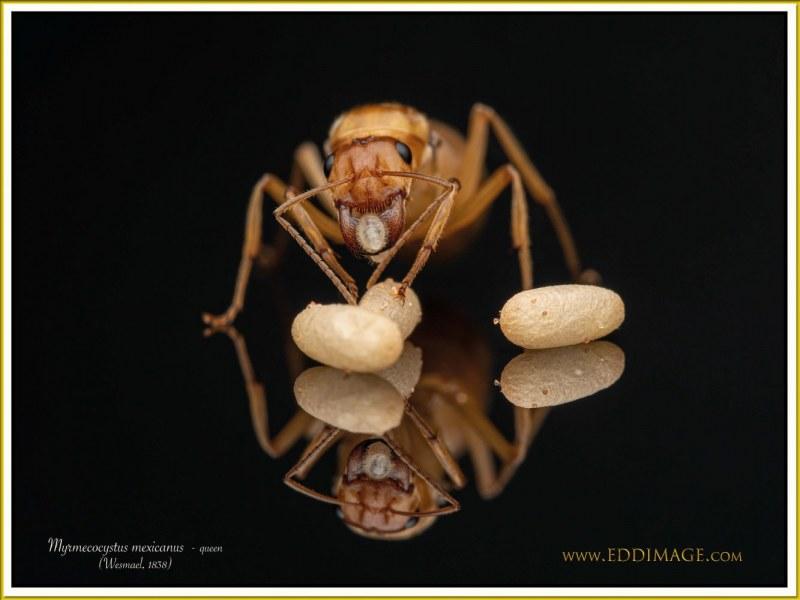 Myrmecocystus-mexicanus-queen-4Wesmael-1838