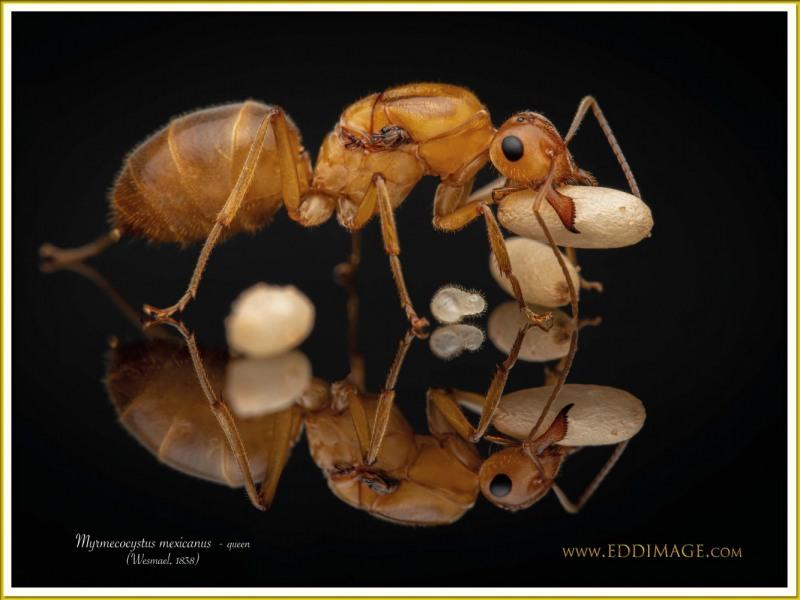 Myrmecocystus-mexicanus-queen-7Wesmael-1838