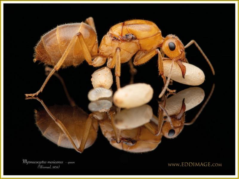 Myrmecocystus-mexicanus-queen-8Wesmael-1838