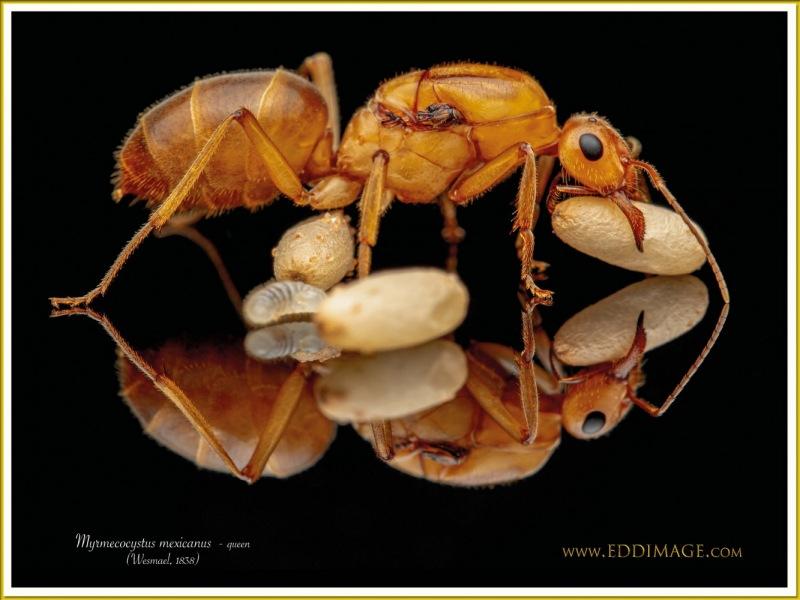 Myrmecocystus-mexicanus-queen-9Wesmael-1838