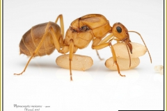 Myrmecocystus-mexicanus-queen-21Wesmael-1838