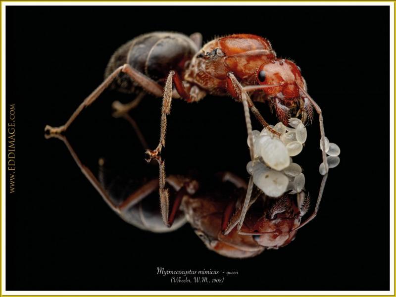 Myrmecocystus-mimicus-queen-3-Wheeler-W.M.-1908