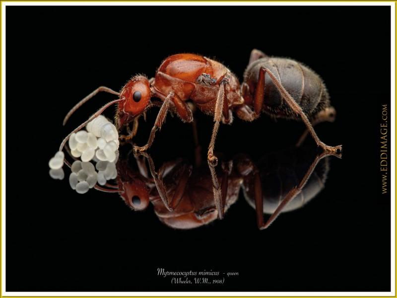 Myrmecocystus-mimicus-queen-4-Wheeler-W.M.-1908