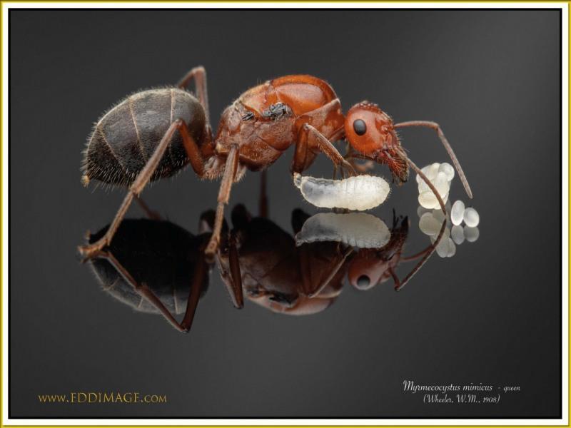 Myrmecocystus-mimicus-queen-5-Wheeler-W.M.-1908