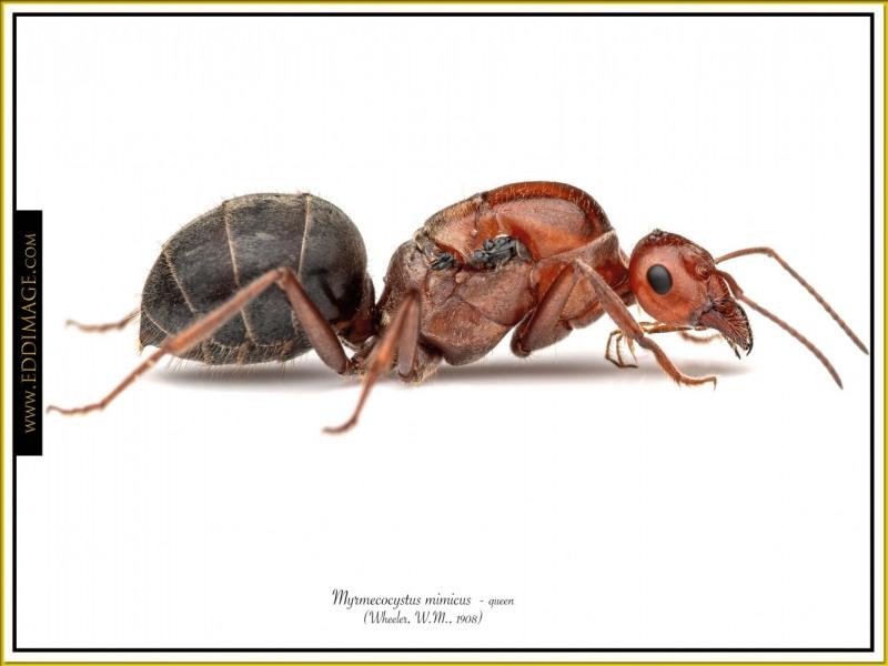 Myrmecocystus-mimicus-queen-7-Wheeler-W.M.-1908