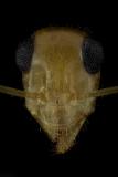 honeypot-ants-Myrmecocystus-navajo-Southern-USA