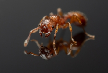 Myrmica-rubra-UK-8