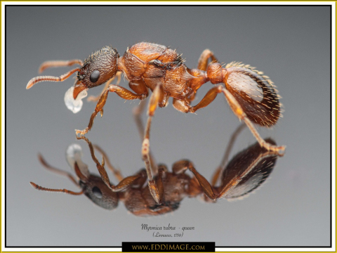 Myrmica-rubra-queen-2Linnaeus-1758