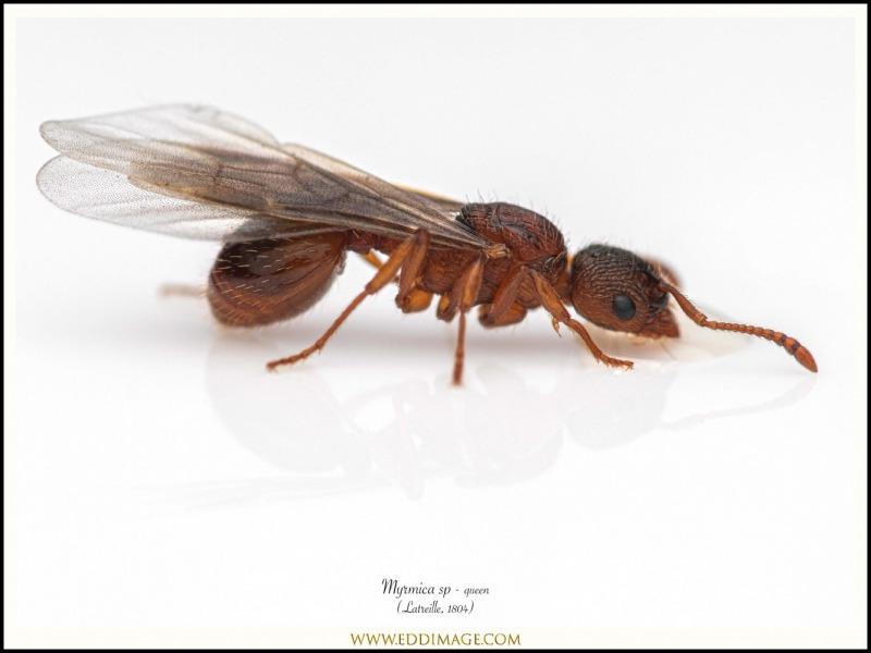 Myrmica-sabuleti-queen-Latreille-1804