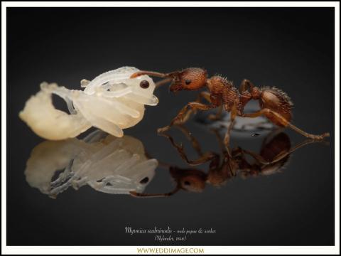 Myrmica-scabrinodis-male-pupae-worker-1-Nylander-1846