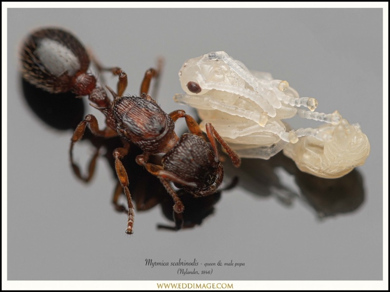 Myrmica-scabrinodis-queen-male-pupa-3-Nylander-1846