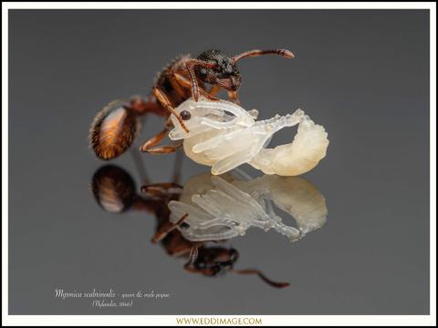 Myrmica-scabrinodis-queen-male-pupae-1-Nylander-1846