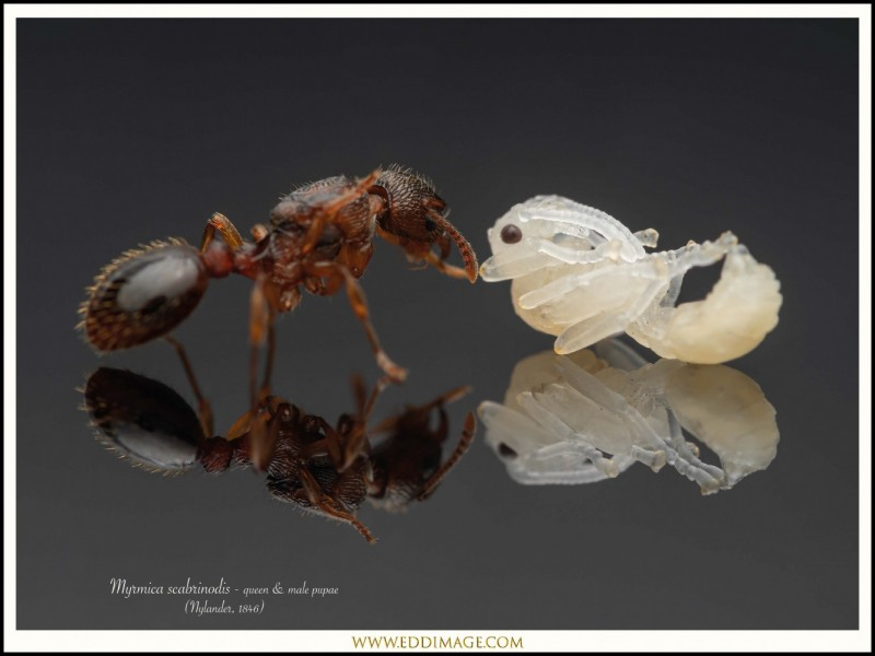 Myrmica-scabrinodis-queen-male-pupae-2-Nylander-1846