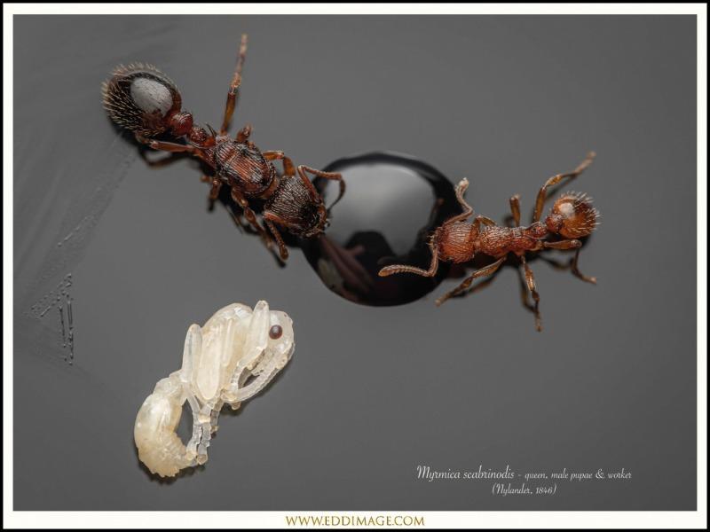 Myrmica-scabrinodis-queen-male-pupae-worker-1-Nylander-1846
