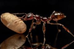 Myrmoteras-binghamii-Myanmar-6
